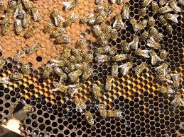 Rezultat iskanja slik za čebelji sat zalega slike